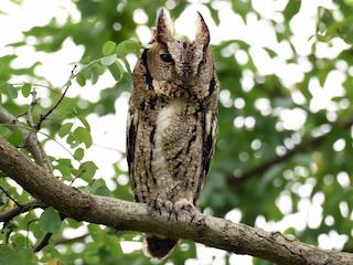 - Japanese Scops-Owl