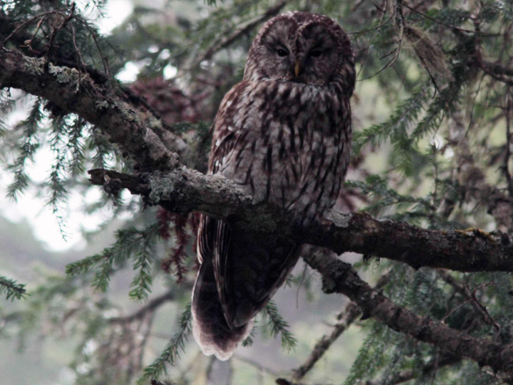 Pere David's Owl - David Beadle