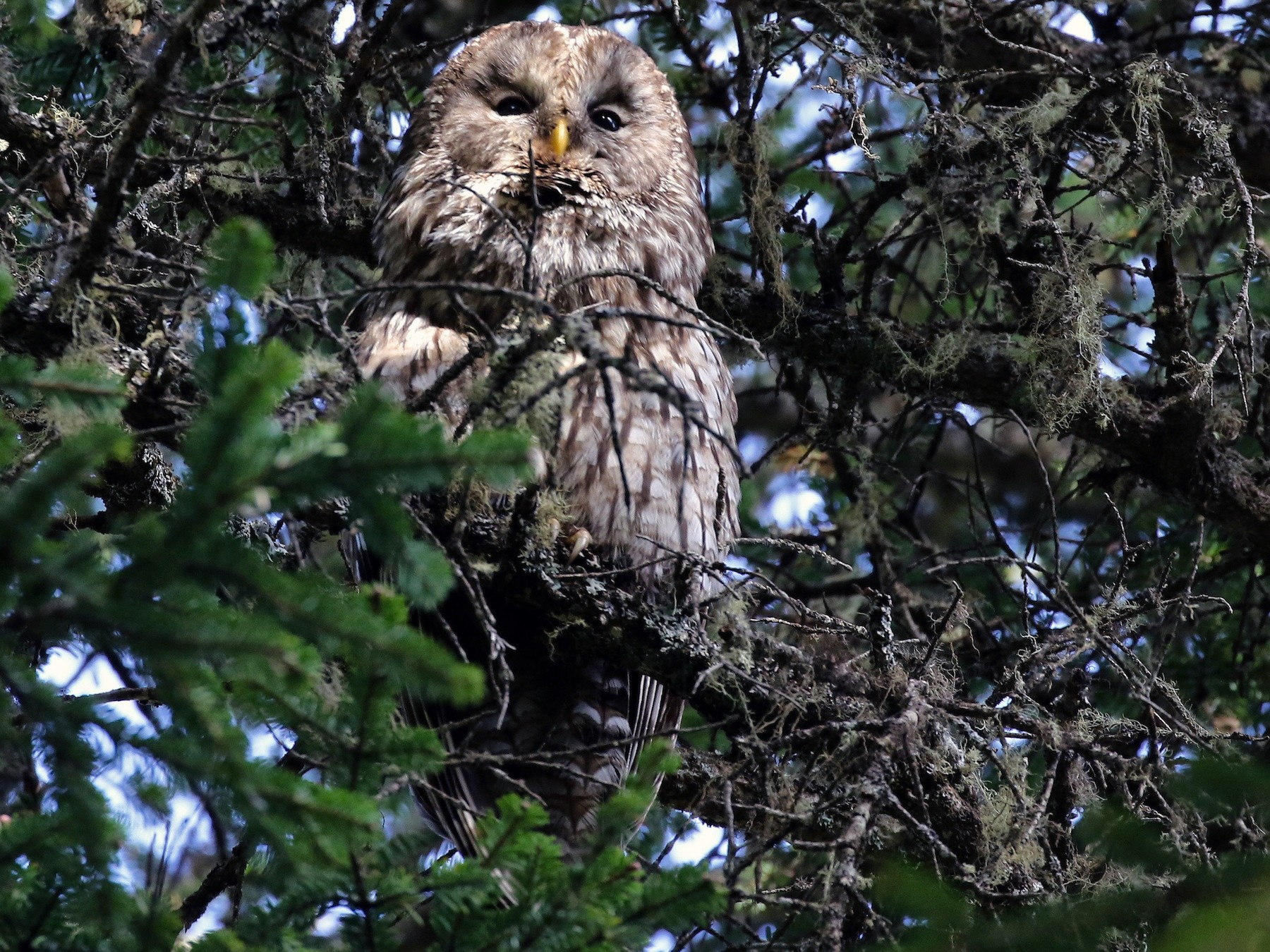 Pere David's Owl - Craig Robson