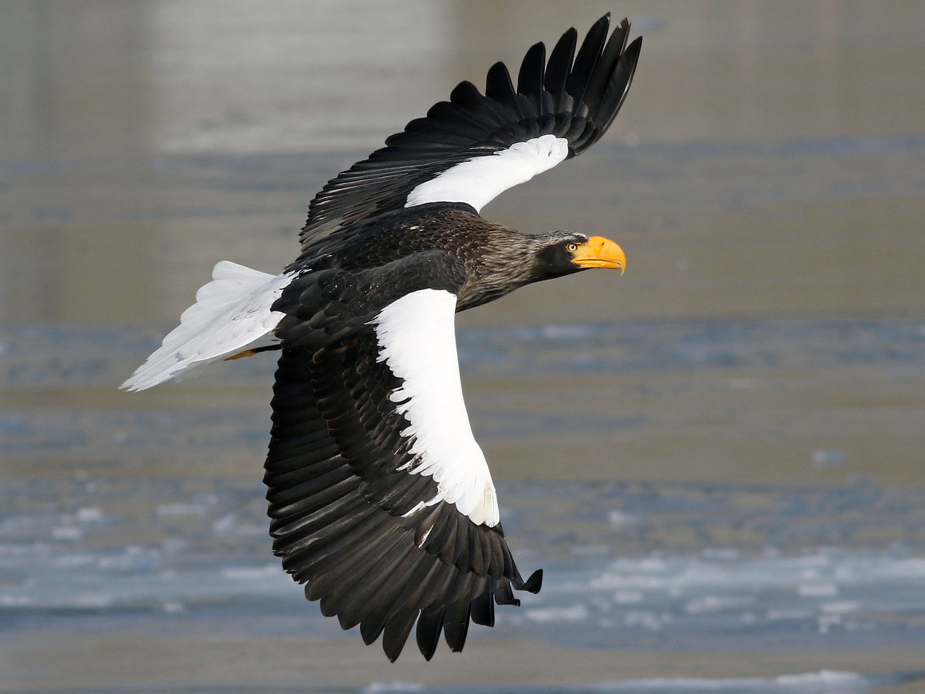 Steller's Sea-Eagle - Nick Bonomo