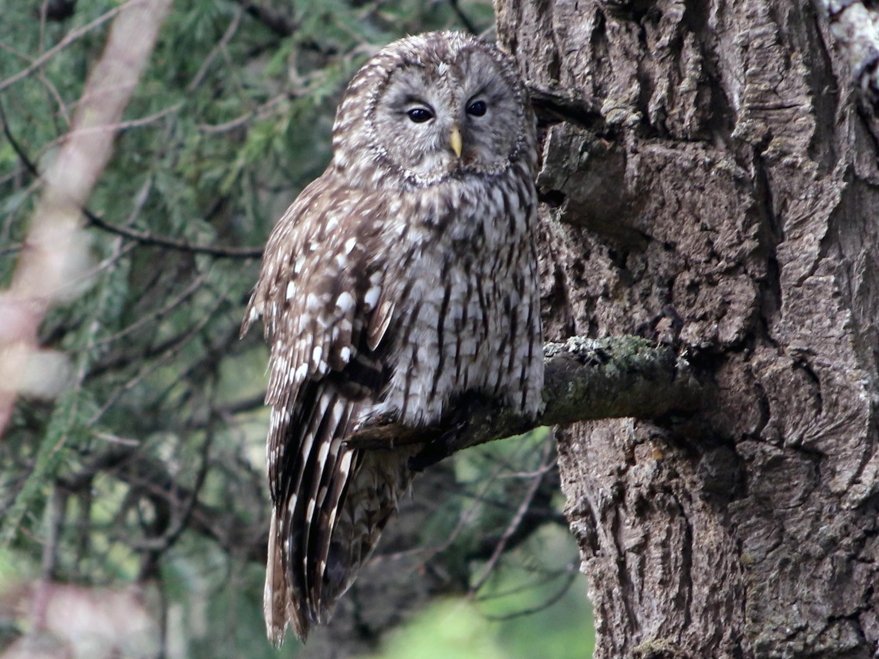 Pere David's Owl - Jonathan Meyer