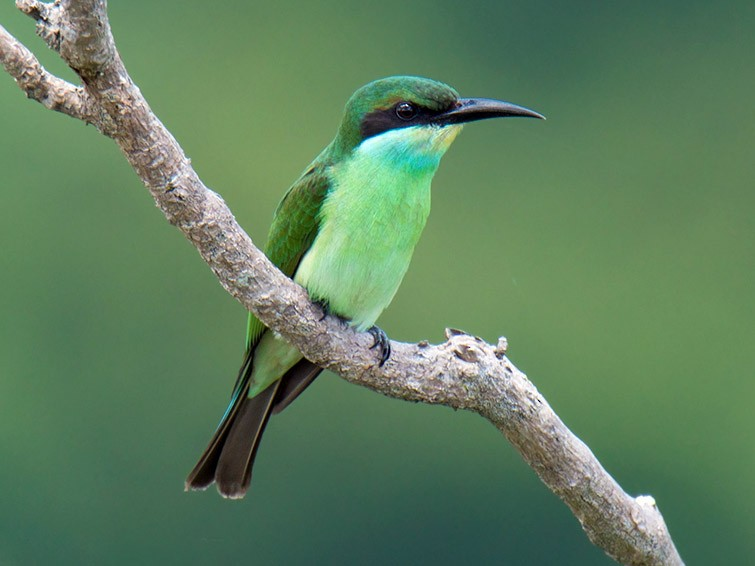 Blue-throated Bee-eater - Wich'yanan Limparungpatthanakij