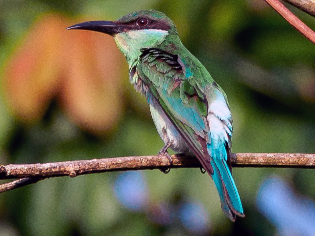 Blue-throated Bee-eater - Karyne Wee