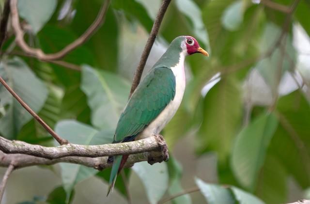 Jambu Fruit-Dove