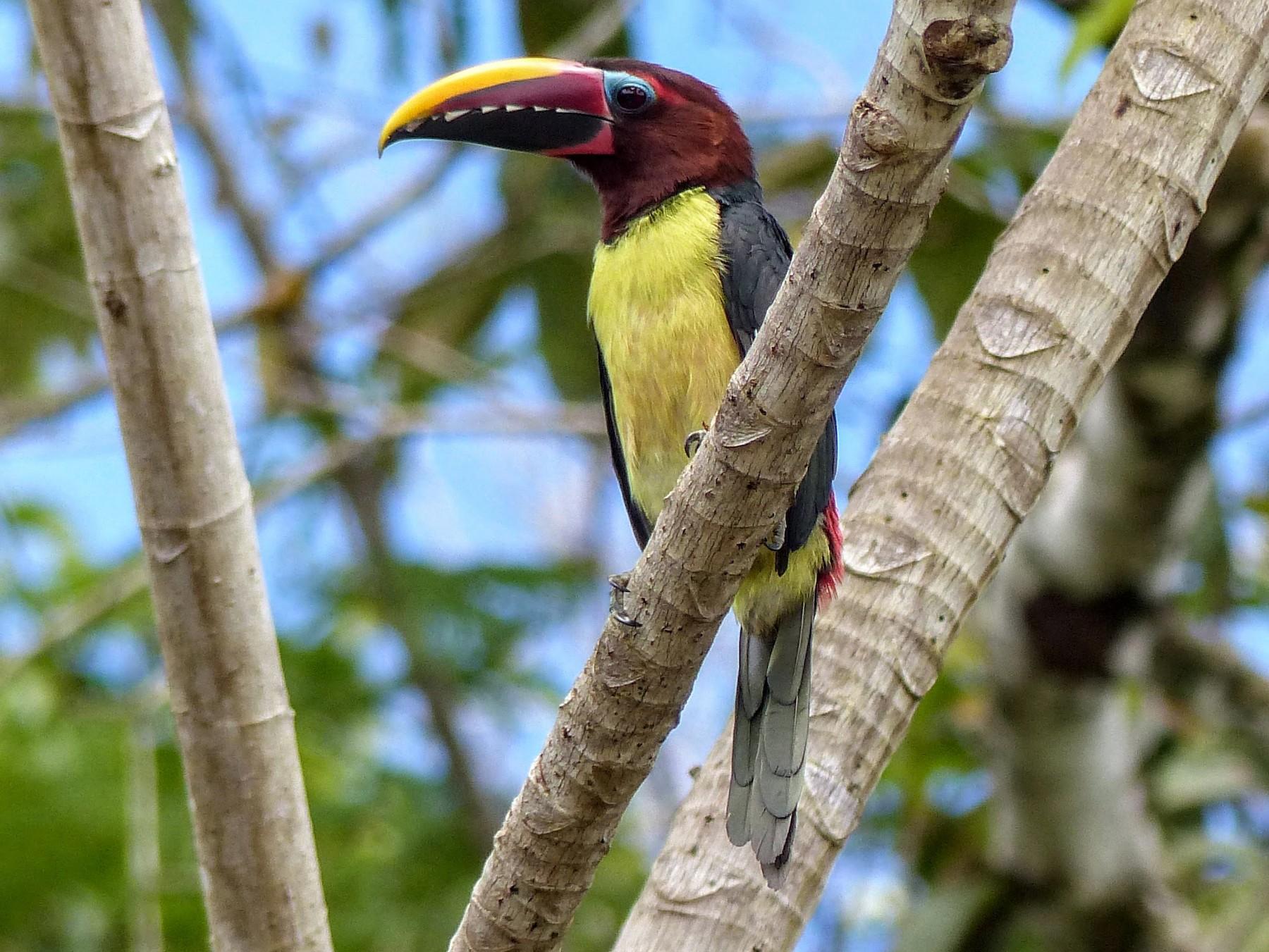 Green Aracari - Eamon Corbett