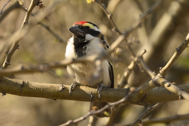 Pied Barbet