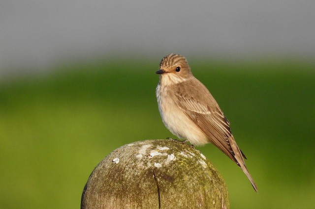 ©Pedro Moreira - Spotted Flycatcher