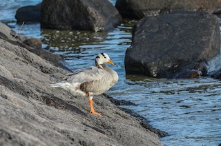 Bar-headed Goose, ML177058991