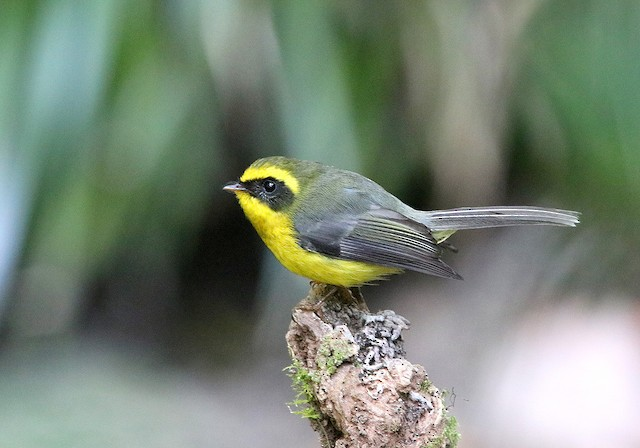 Yellow-bellied Fairy-Fantail