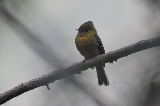 Olive Flycatcher