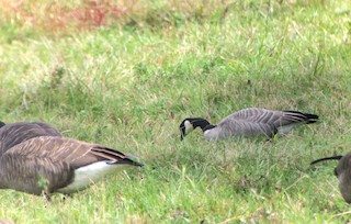 Cackling Goose (Richardson's), ML177276931