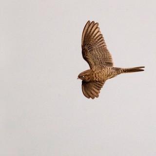 - Bahian Nighthawk