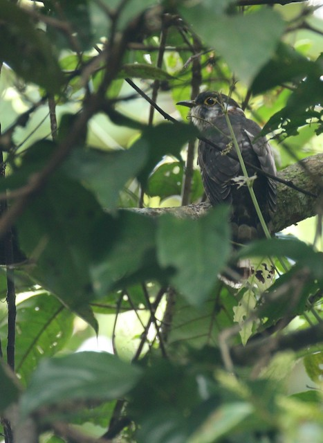 Moustached Hawk-Cuckoo