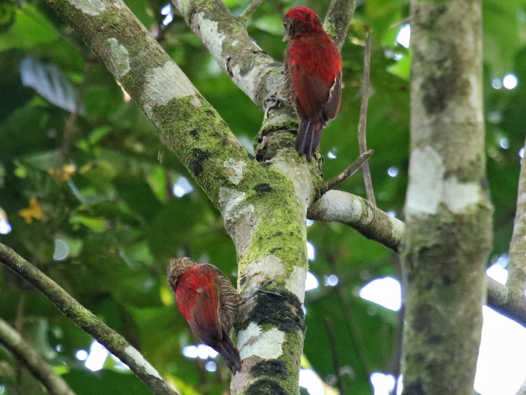 Blood-colored Woodpecker - Michael Collins