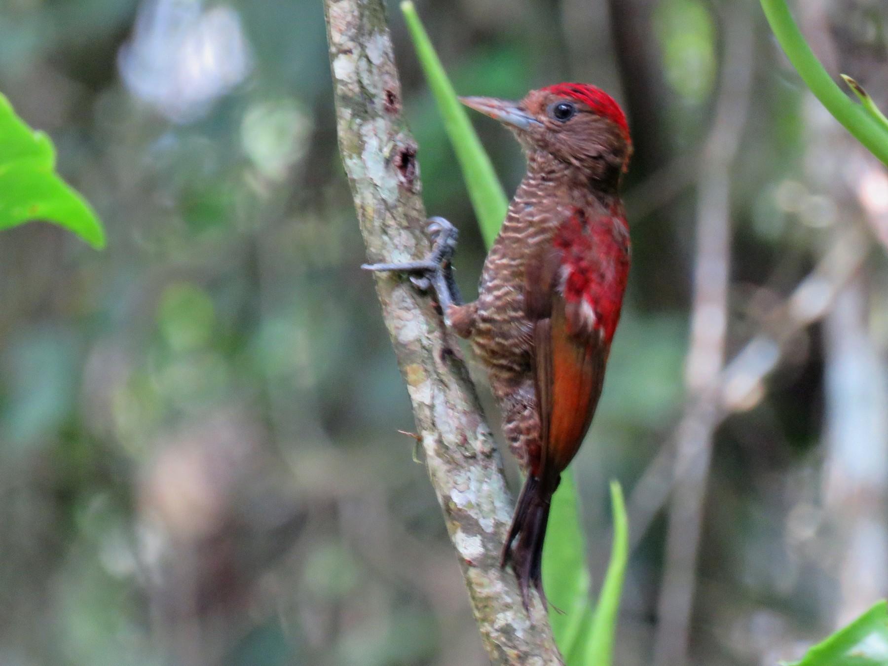 Blood-colored Woodpecker - Jack Noordhuizen