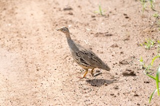 - Ring-necked Francolin