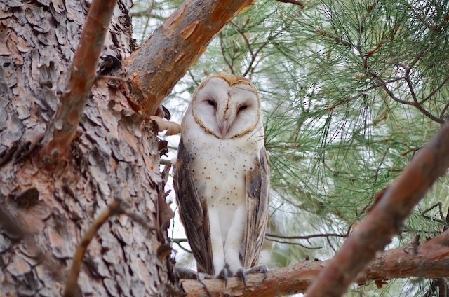 ©Alexander Patia - Barn Owl