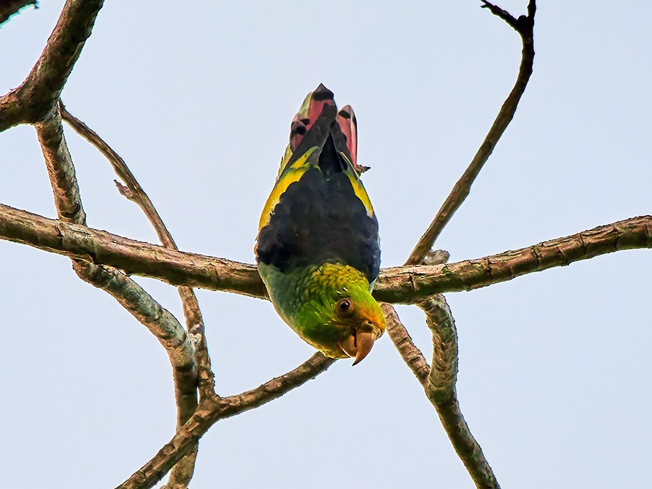 Lilac-tailed Parrotlet - Wendell SJ Reyes