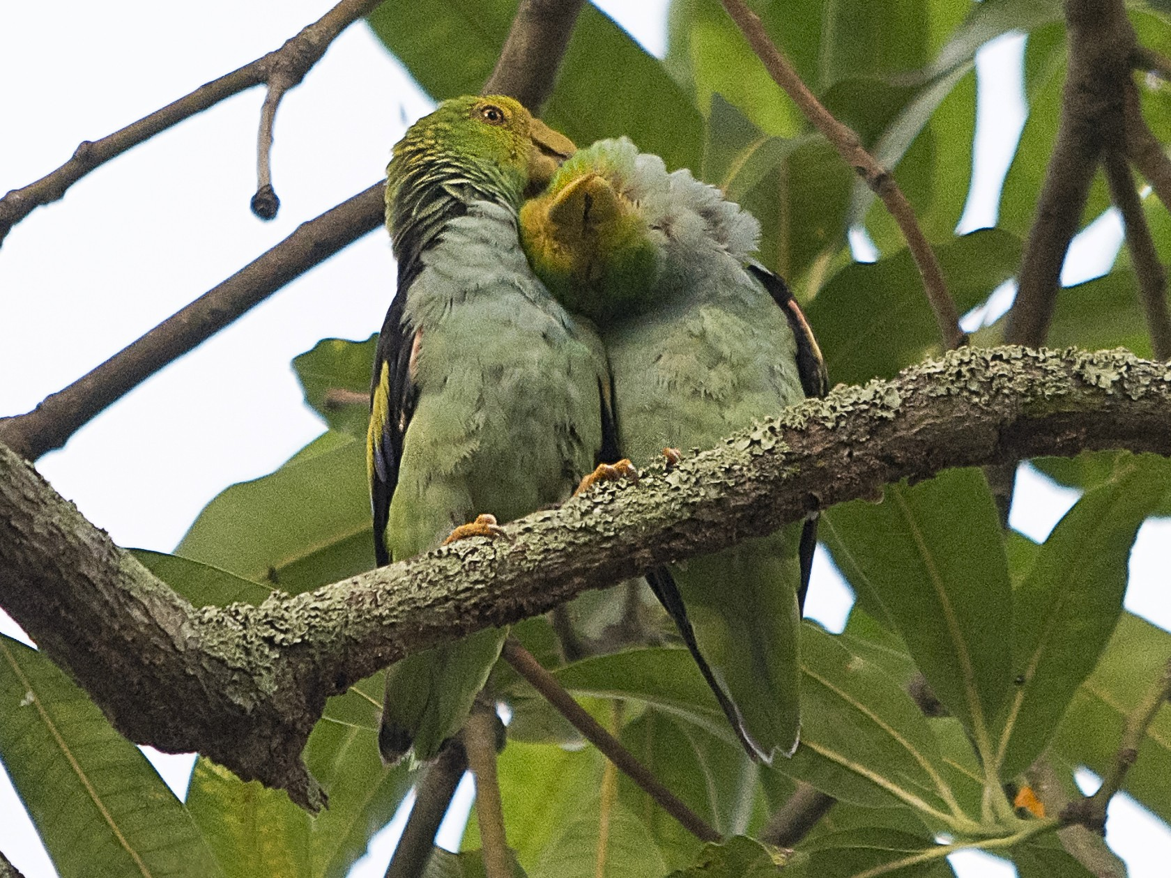 Lilac-tailed Parrotlet - Jerome Foster