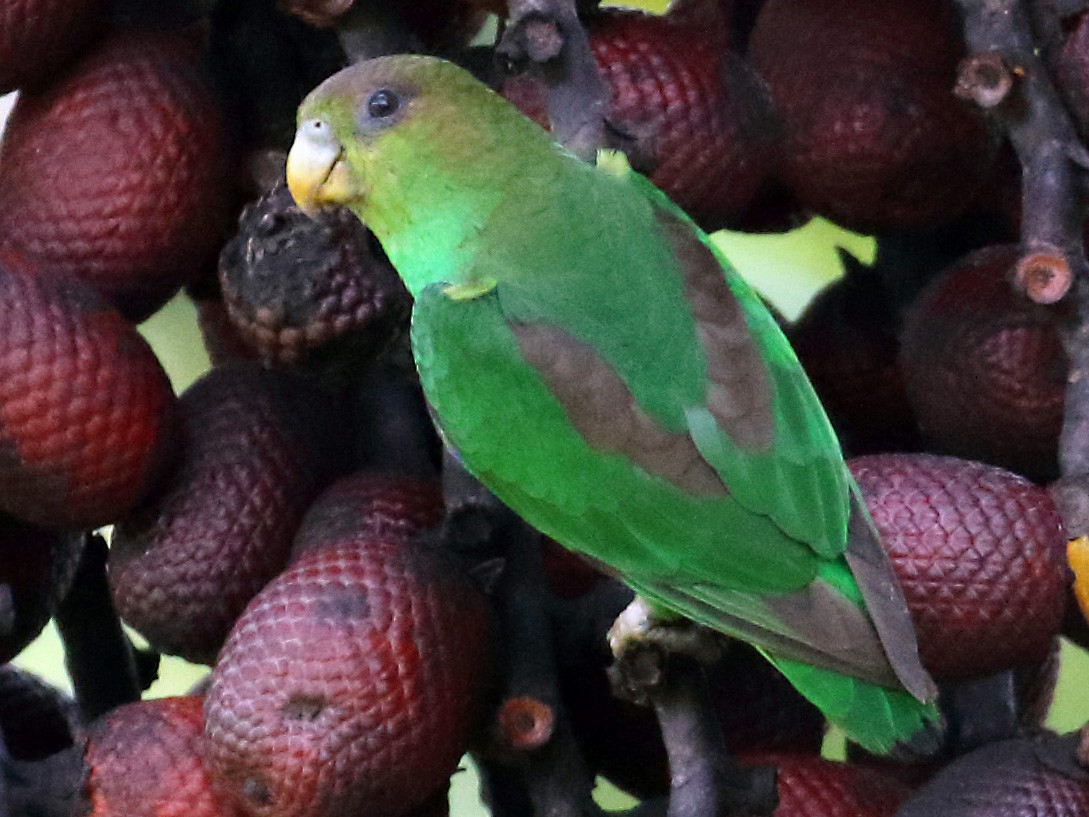 Sapphire-rumped Parrotlet - Myles McNally