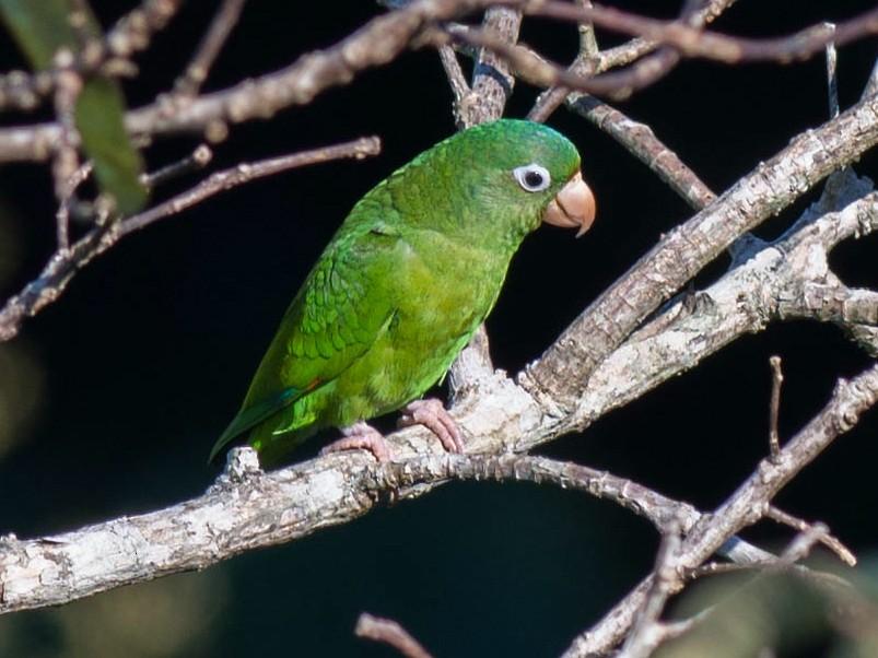 Golden-winged Parakeet - Tim Liguori