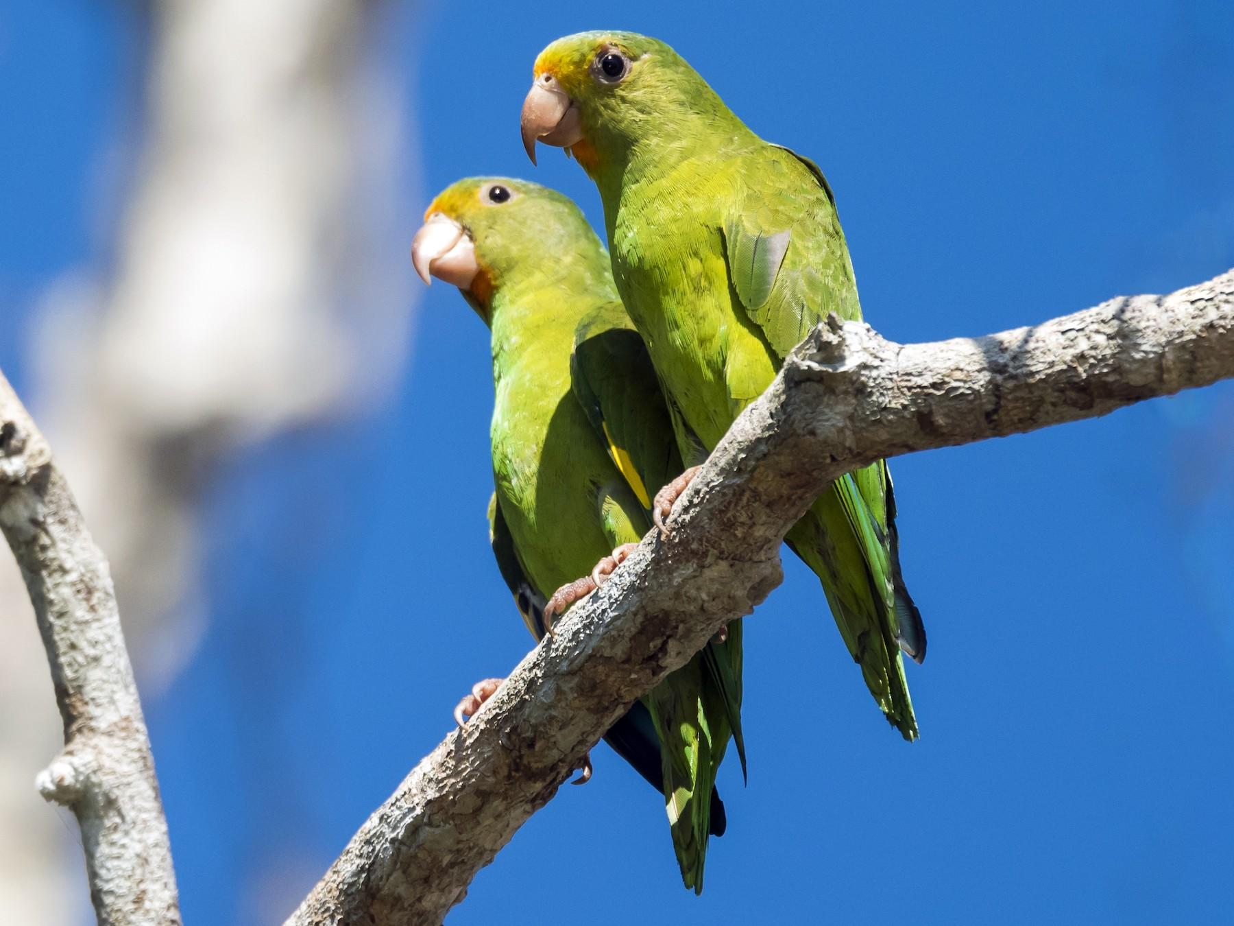 Golden-winged Parakeet - Claudia Brasileiro