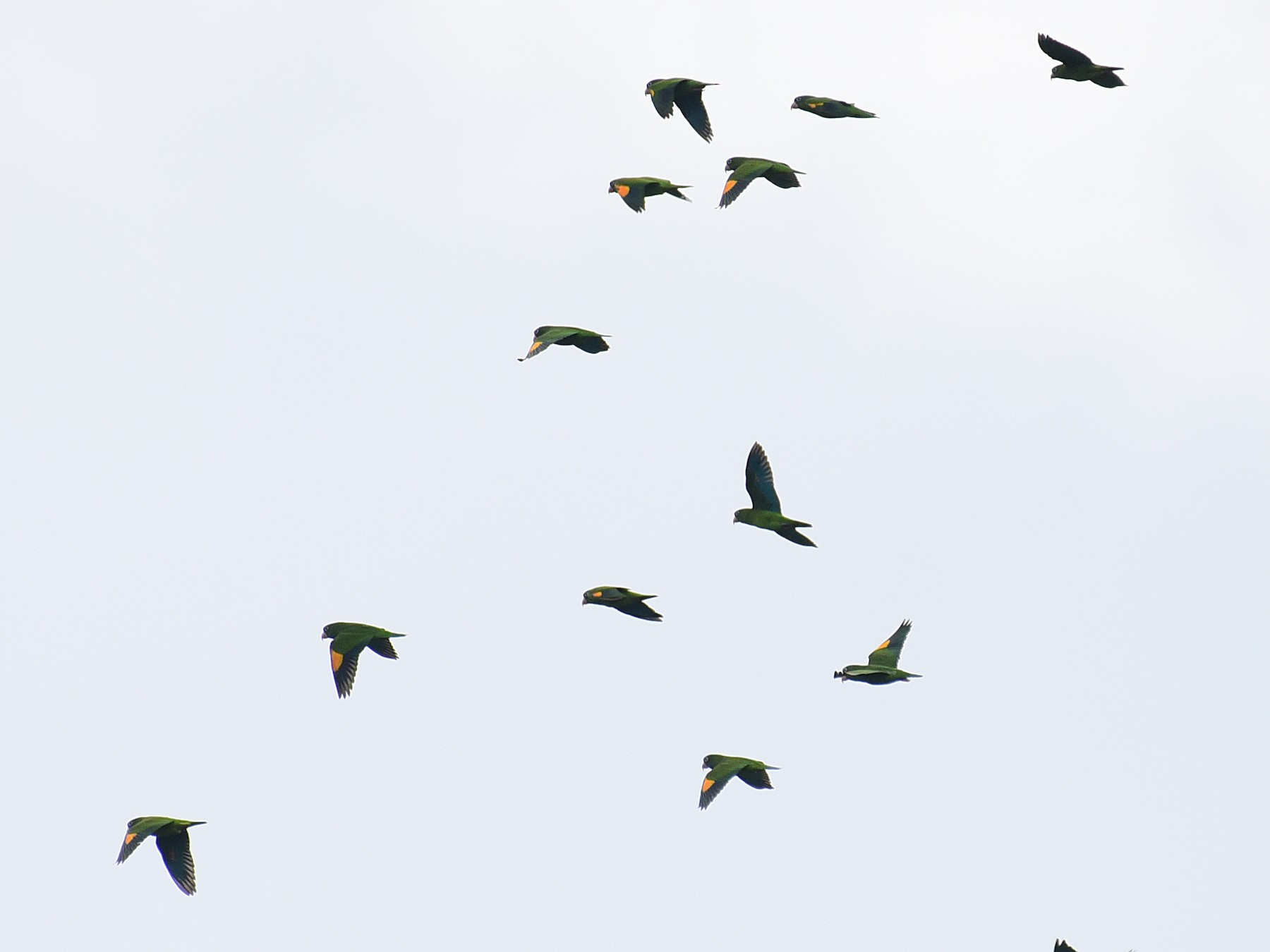 Golden-winged Parakeet - Luiz Moschini