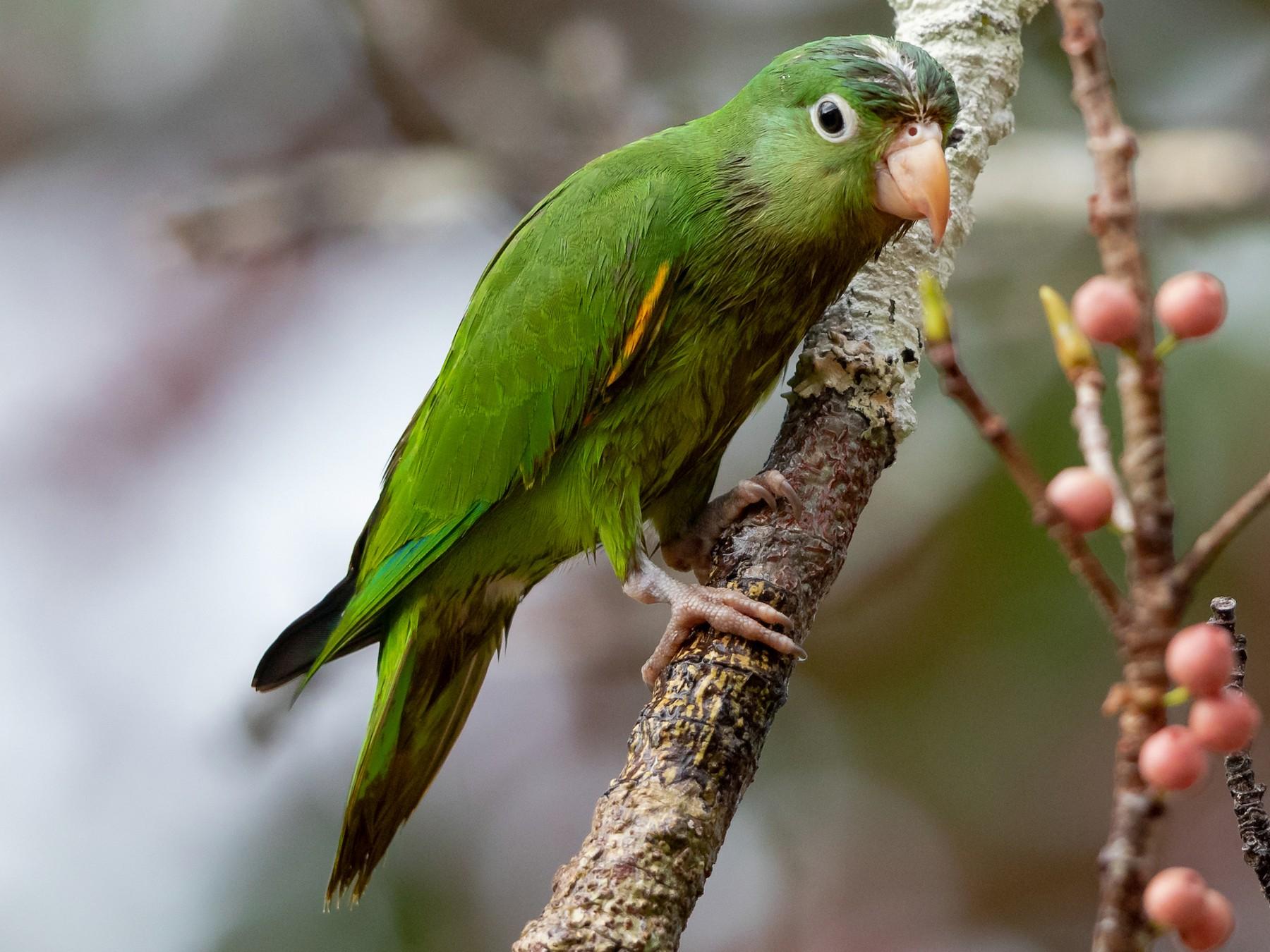 Golden-winged Parakeet - Héctor Bottai