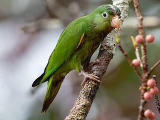 - Golden-winged Parakeet