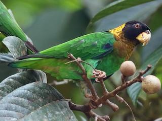 - Caica Parrot