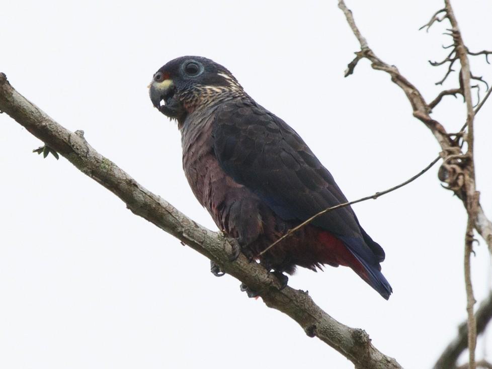 Dusky Parrot - Silvia Faustino Linhares
