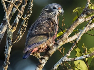 - Dusky Parrot