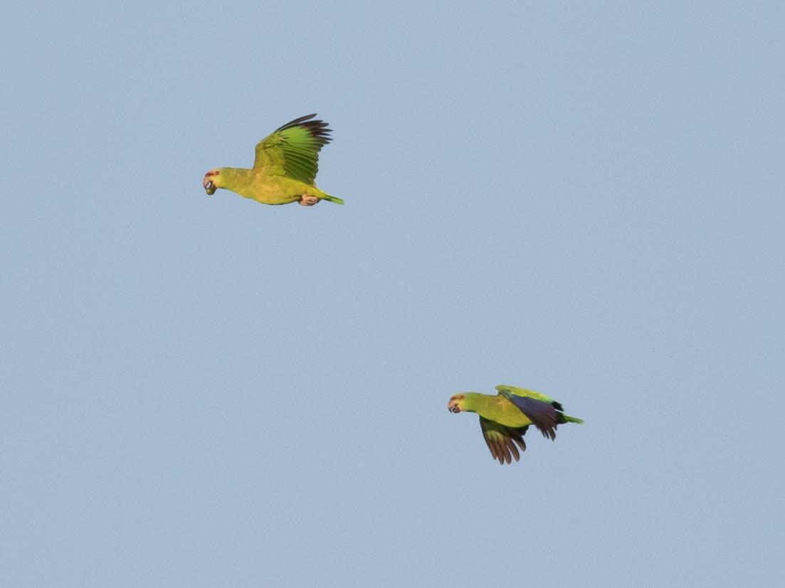 Festive Parrot - Tom Johnson