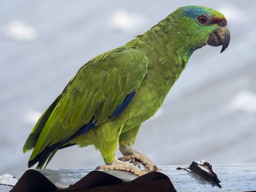 Festive Parrot - Claudia Brasileiro