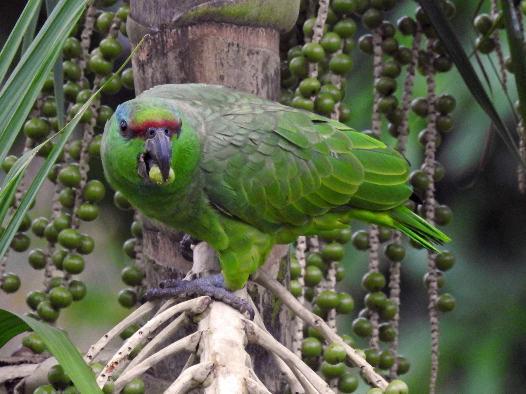 Festive Parrot - Luis Rodriguez