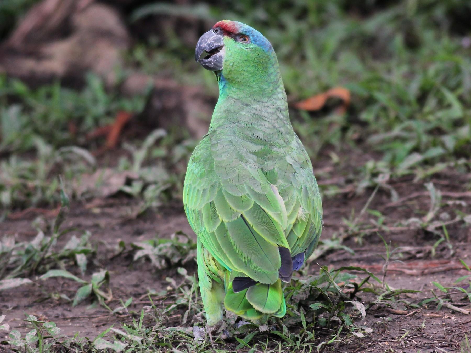 Festive Parrot - Margaret Viens