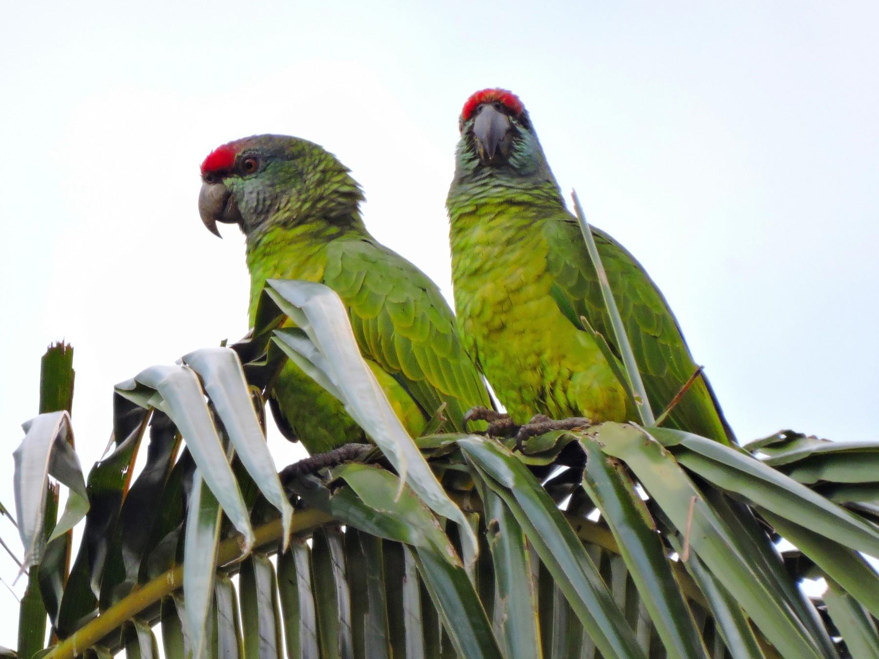 Festive Parrot - Edwin Munera