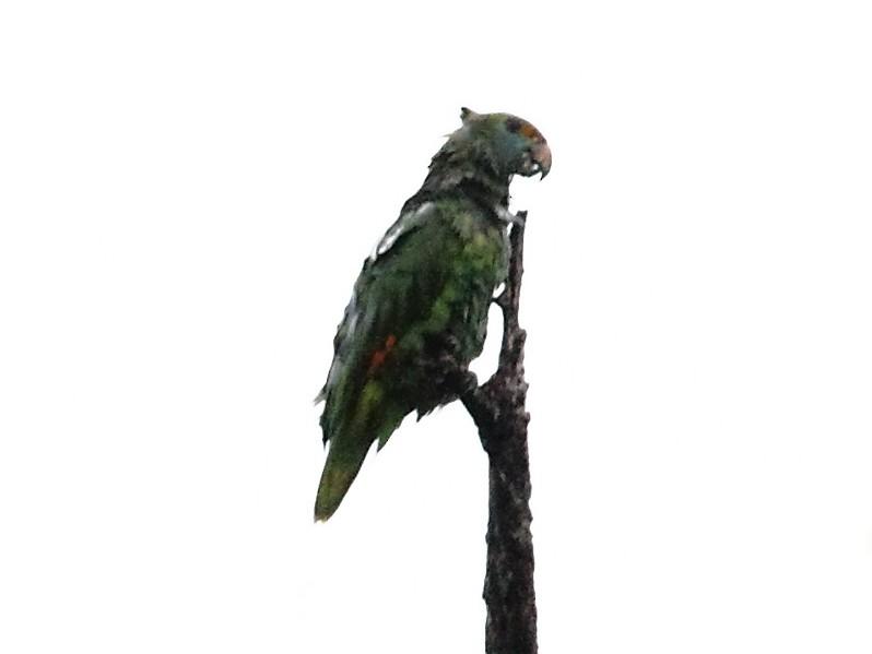 Blue-cheeked Parrot - Lorenzo Calcaño