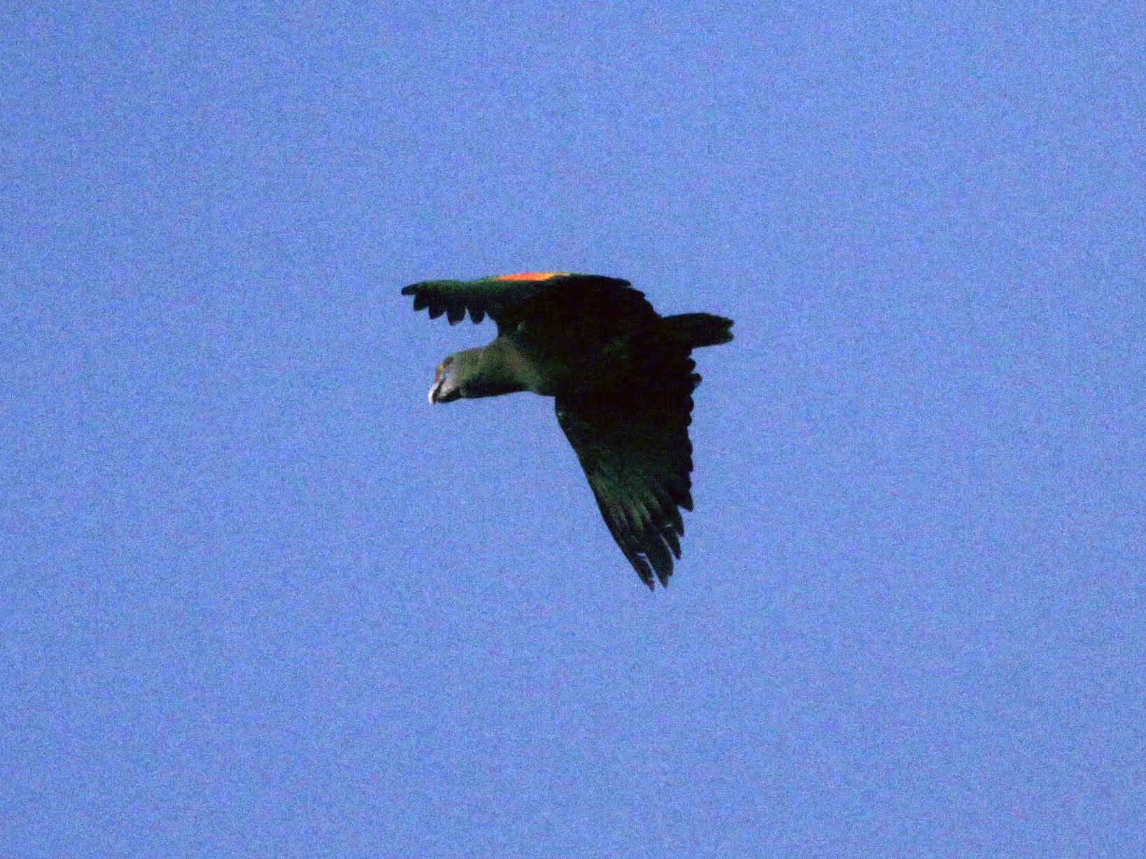 Blue-cheeked Parrot - Jay McGowan