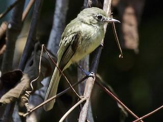 - Olive-green Tyrannulet