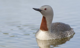 - Red-throated Loon