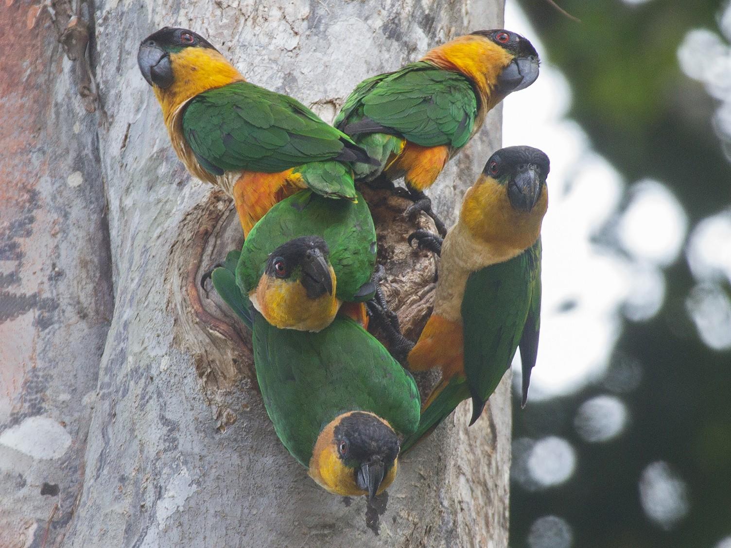 Black-headed Parrot - Leon Moore