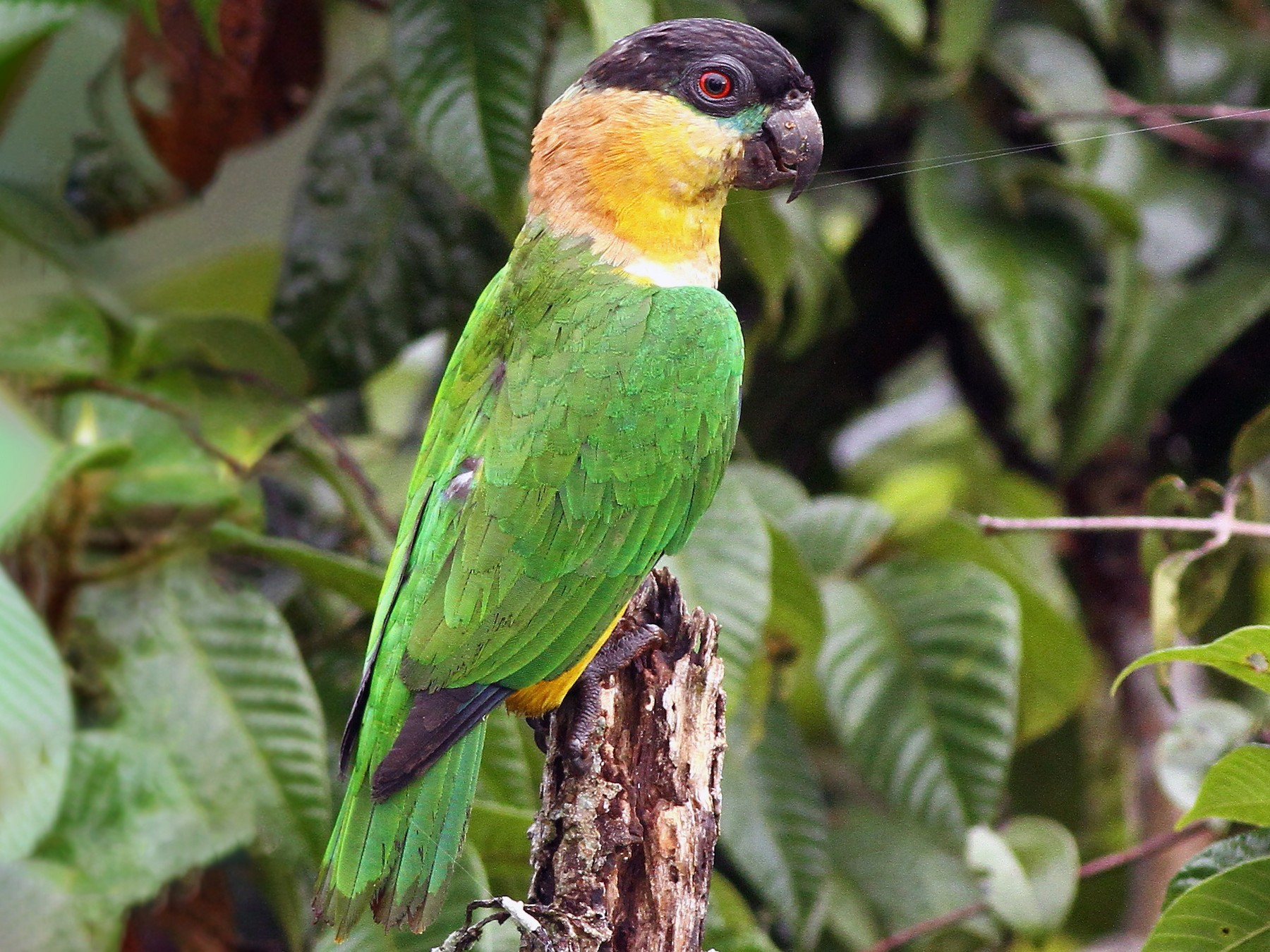 Black-headed Parrot - Luke Seitz