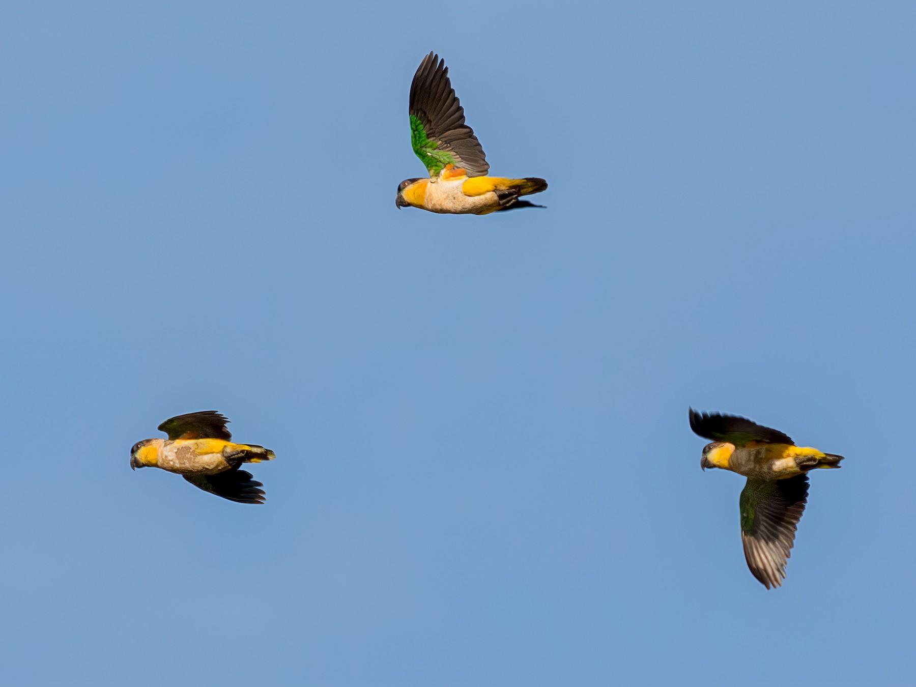 Black-headed Parrot - Renato Espinosa