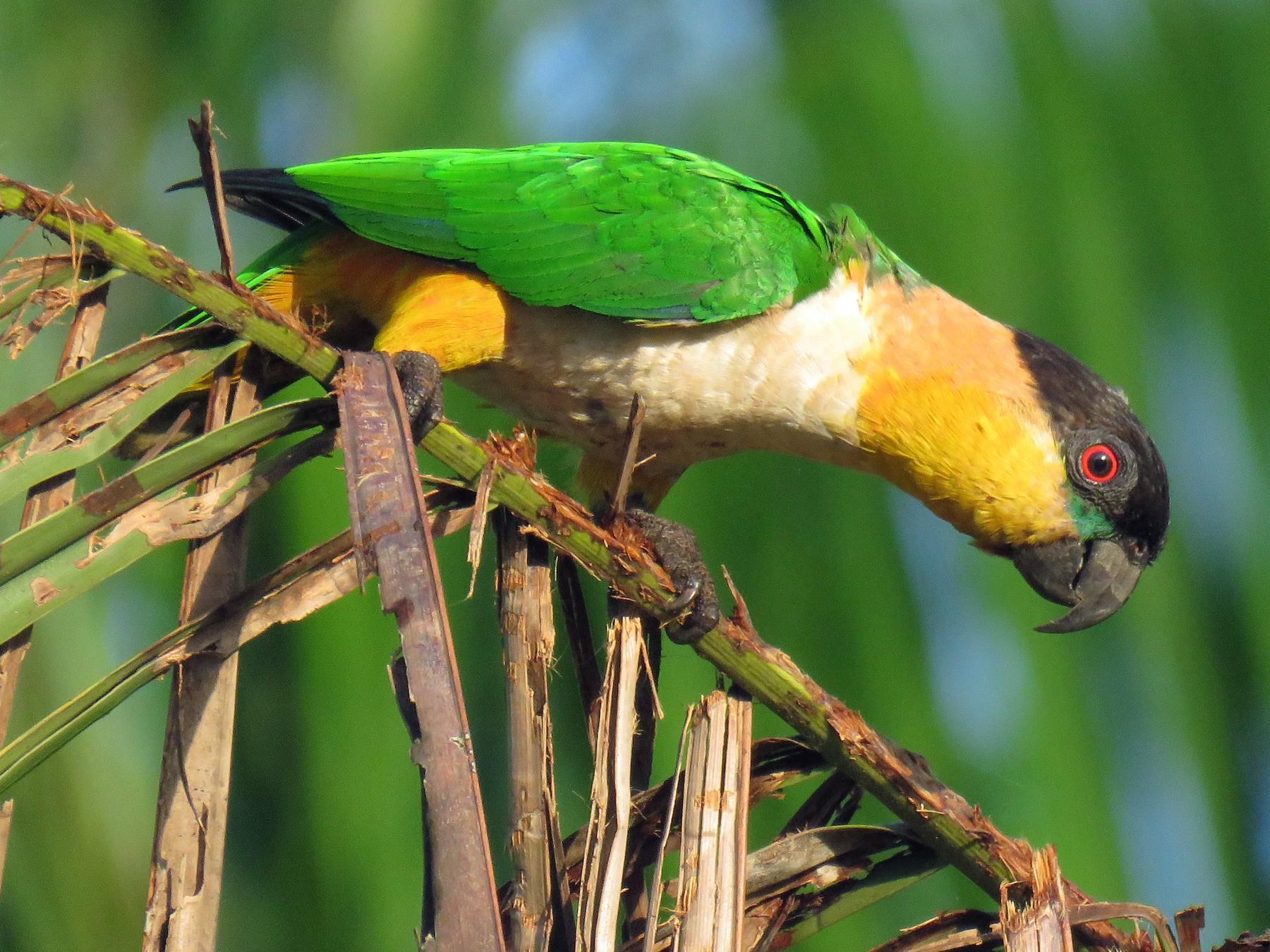 Black-headed Parrot - Juan Pablo Arboleda