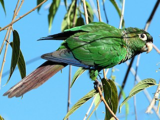 - Fiery-shouldered Parakeet