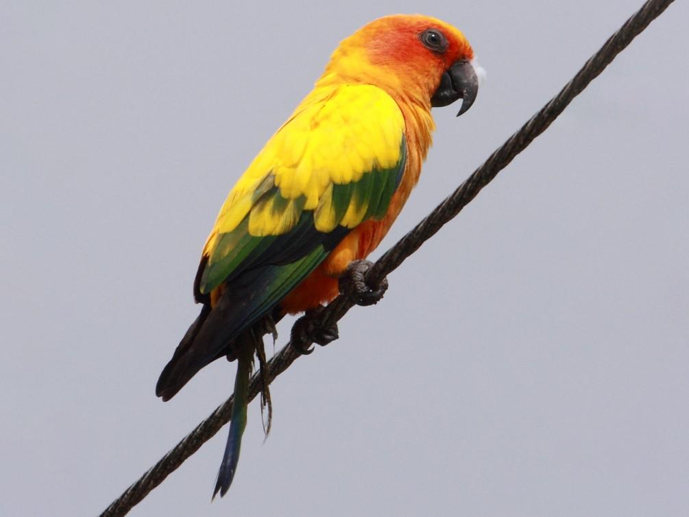Sun Parakeet - Fabio Olmos