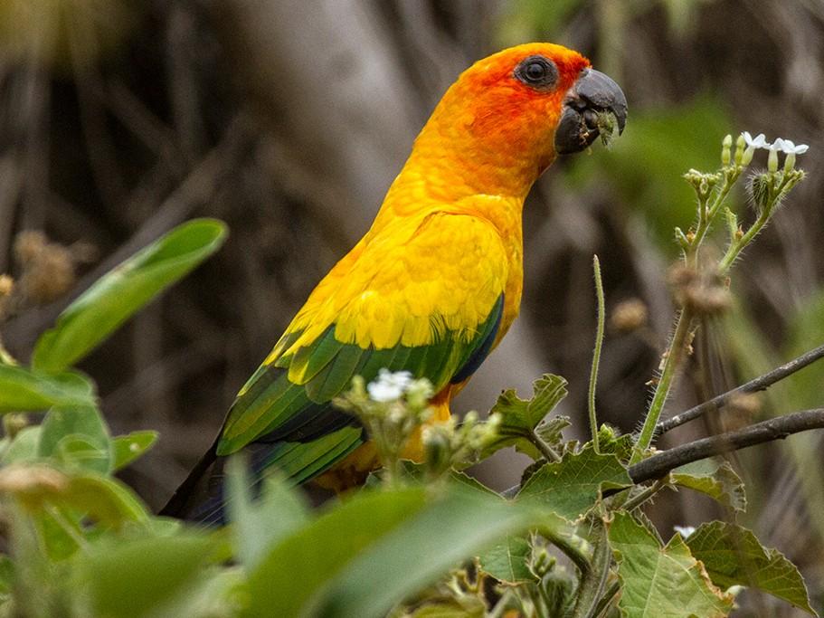 Sun Parakeet - Leon Moore