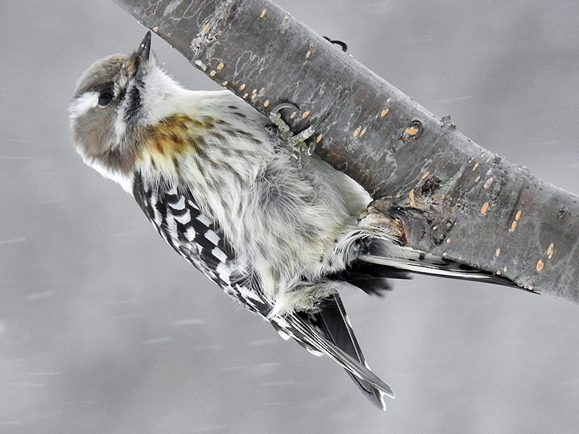 Pygmy Woodpecker - Alexander Viduetsky
