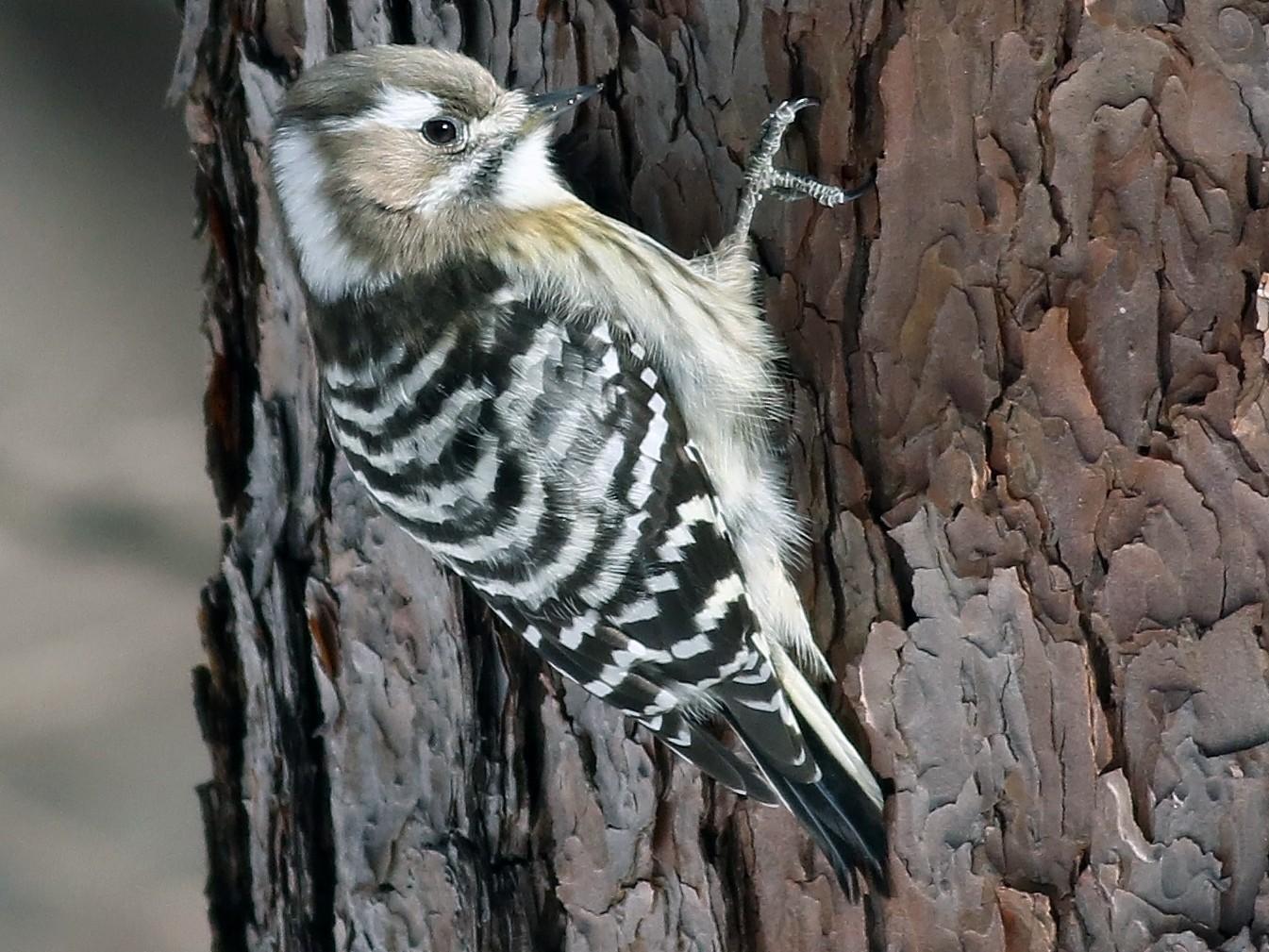 Pygmy Woodpecker - Nick Bonomo